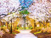 Ba thành phố hoa anh đào nổi tiếng thế giới