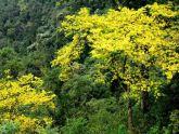 Lễ hội hoa anh đào - mai vàng Yên Tử: Đến hẹn lại lên